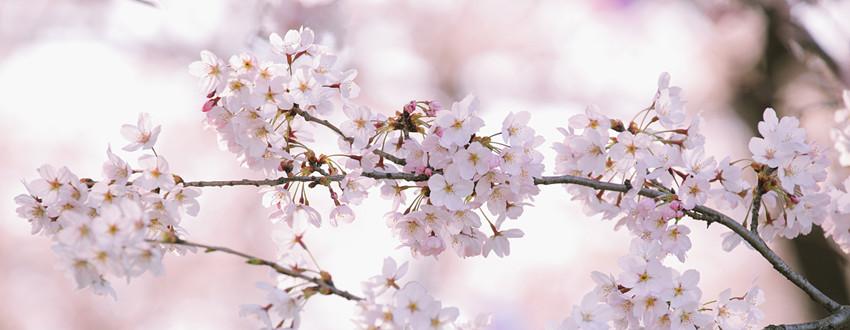 第三届眉山樱花节开幕